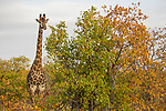 South African Giraffe (Giraffa giraffa giraffa) male in Mopane (Colophospermum mopane) woodland, Kruger National Park, South Africa