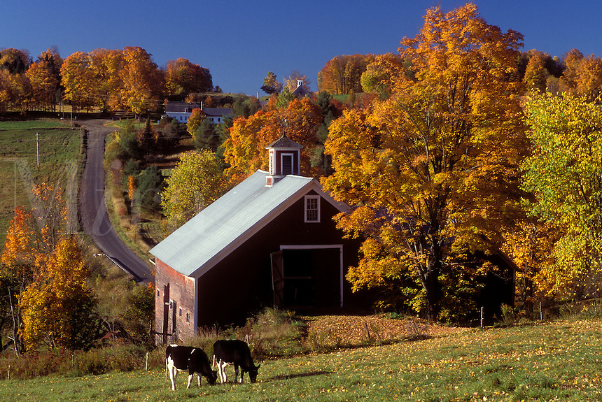 AJ1036, Vermont, barn, fall, foliage, Cows grazing in a field near a red barn in the fall in East Montpelier.