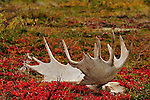 The remains of a moose skull with antlers lays among the colorful  lichen in Alaska