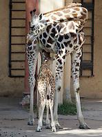 Il cucciolo di giraffa nato lo scorso 28 settembre succhia il latte dalle mammelle della madre Camerun al Bioparco di Roma, 9 ottobre 2009..A male baby giraffe born on 28 september is nursed by its mother Camerun at Rome's Bioparco, 9 october 2009..UPDATE IMAGES PRESS/Riccardo De Luca