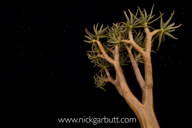 Quiver Tree or Kokerboom (Aloe dichotoma) at night. Namibrand Nature Reserve, on the edge of the Sossusvlei dunes, Namib Desert, Namibia.