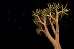 Quiver Tree or Kokerboom (Aloe dichotoma) at night. Namibrand Nature Reserve, on the edge of the Sossusvlei dunes, Namib Desert, Namibia.