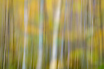 Impressionistic Silver Birch (Betula pendula) and autumn colours. Loch Aigas. Aigas Field Centre, near Inverness, Scotland. October