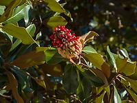 Immergrüne Magnolie (Magnolia grandiflora), Algund bei Meran, Region Südtirol-Bozen, Italien, Europa<br /> southern magnolia (Magnolia grandiflora),  Lagundo near Merano, Region South Tyrol-Bolzano, Italy, Europe