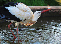 White stork standing in a small pond in Paphos birds park, stock image.<br /> <br /> (For editorial use only)