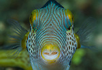 Black Saddled Toby, Canthigaster valentini, pufferfish in Ambon