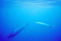 adult male Blainville's beaked whale, Mesoplodon densirostris, and short-finned pilot whale, Globicephala macrorhynchus, Hawaii, Pacific Ocean