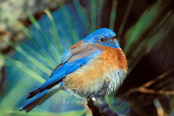 Western Bluebird male (Sialia mexicana)