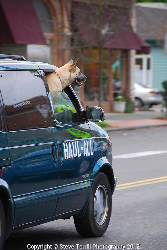 USA, Oregon, Great Dane mix dog hanging his head out the passenger window of van in Portland