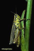 OR01-020z  Grasshopper -  redlegged grasshopper - Melanoplus spp.