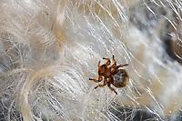 Schaflausfliege, Schaf-Lausfliege, Schaflaus, Lausfliege, Melophagus ovinus, Melophagus montanus, sheep ked, louse fly, le pou du mouton, le mélophage du mouton, Lausfliegen, Hippoboscidae, louse flies, keds, Schädling, Schädlinge