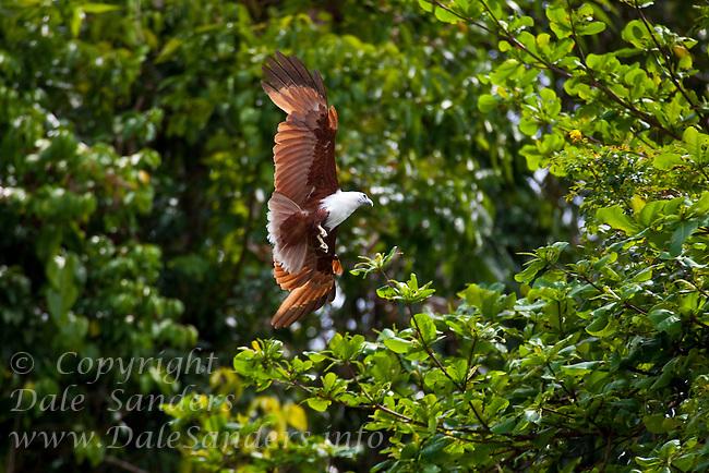 Brahminy Kite (Haliastur indus) on Restorf Island in Kimbe Bay off New Britain, Papua New Guinea.