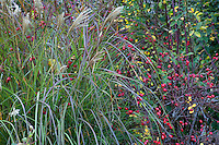 Red rose hips (Rosa vilosa) in border with grasses (Miscanthus) in Gary Ratway garden