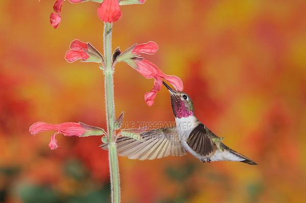 Broad-tailed Hummingbird, Selasphorus platycercus,male in flight feeding on Red Sage(Salvia sp.) ,Rocky Mountain National Park, Colorado, USA