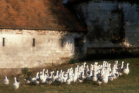France, Picardy, geese in farmyard