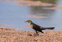 A female Great-tailed Grackle, Quiscalus mexicanus, walks on the shore of a lake in the Riparian Preserve at Water Ranch, Gilbert, Arizona