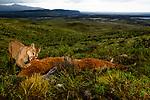 Mountain Lion (Puma concolor) female feeding on Guanaco (Lama guanicoe) kill in pre-Andean shrubland, Torres del Paine National Park, Patagonia, Chile