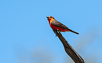 Male Vermilion Flycatcher, Pyrocephalus rubinus, in Sonoita Creek State Natural Area, Arizona
