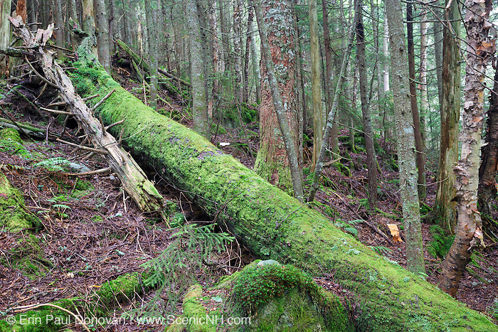 Moss covered tree in a softwood forest on the northern slopes of Mount Jim in Kinsman Notch of Woodstock, New Hampshire during the summer months.