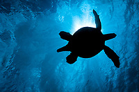 The silhouette of a large male green sea turtle, Chelonia mydas, an endangered species, passes overhead at a cleaning station of West Maui, Hawaii.