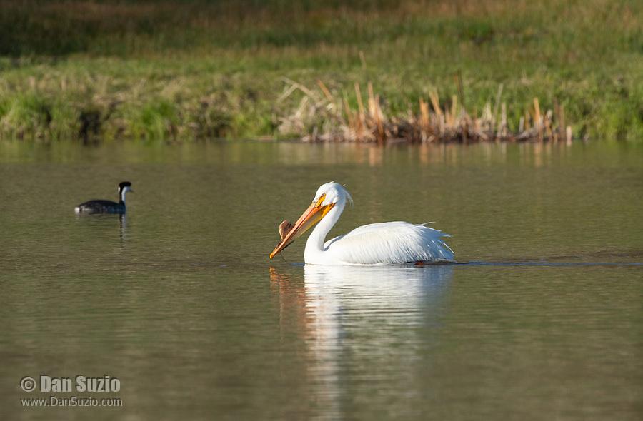 American White Pelican, Pelecanus erythrorhynchos, swims on Upper Klamath Lake, Oregon
