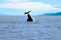 killer whale, Orcinus orca, transient, tossing a Dall's porpoise, Phocoenoides dalli, in the air before feeding on it, Chatham Strait, Alaska, Pacific Ocean