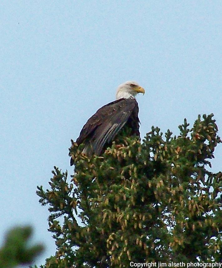 Bald Eagle perched in a tree at Fish Lake, Nordegg, Alberta