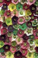 Mixture of hellebore flowers