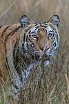 Female Bengal tiger (Panthera tigris tigris) walking through tall grassland. Bandhavgarh National Park, Madhya Pradesh, Central India.