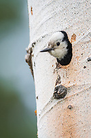 White-headed Woodpecker (Picoides albolarvatus). Deschutes National Forest, Oregon. May.