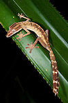 Lined Leaf-tailed Gecko (Uroplatus lineatus). Active in forest understorey at night. Masoala National Park, Madagascar.