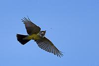 Western Kingbird Hunting Bugs, San Angelo