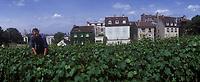Europe/France/Ile-de-France/Paris: Taille des vignes rue Saint-Vincent - La Vigne de Montmartre // Europe / France / Ile-de-France / Paris: Pruning of the vines rue Saint-Vincent - La Vigne de Montmartre