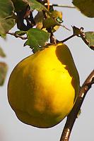 A coing quince fruit. on a tree. Domaine la Monardiere Monardière, Vacqueyras, Vaucluse, Provence, France, Europe