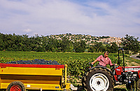 Grape harvest.  Vendange. Fayence, Provence, France.  Trailer load of grapes ready for pressing..