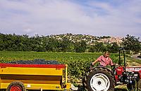 Grape harvest.  Vendange. Fayence, Provence, France.  Trailer load of grapes ready for pressing..