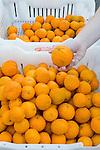 CITRUS 'GOLD NUGGET', TANGERINES IN BIN AT FARMER'S MARKET AT BAKERSFIELD