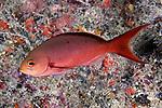 Cephalopholis furcifer, Atlantic creolefish, Florida Keys
