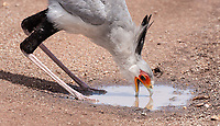 I was afforded my first-ever views of the Secretary Bird in the wild on this trip.