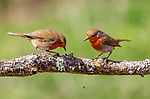 Pictured:  Sequence 6 of 9:  The pair watch on as the fly falls from the branch<br /> <br /> A courting ritual between two robins is cut short - after the female drops an insect the male was trying to feed her.  The female stands ready to receive the fly in her open beak but after it is dropped both glance disappointedly at the floor, and the male flies down in an attempt to retrieve it.<br /> <br /> This exchange of food is an integral part of the courtship between robins and was captured by professional photographer Ivor Ottley in Suffolk.  SEE OUR COPY FOR DETAILS.<br /> <br /> Please byline: Ivor Ottley/Solent News<br /> <br /> © Ivor Ottley/Solent News & Photo Agency<br /> UK +44 (0) 2380 458800