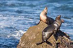 La Jolla, California; a pair of female California sea lions resting on a rocky outcropping in the Pacific Ocean, in early morning sunlight