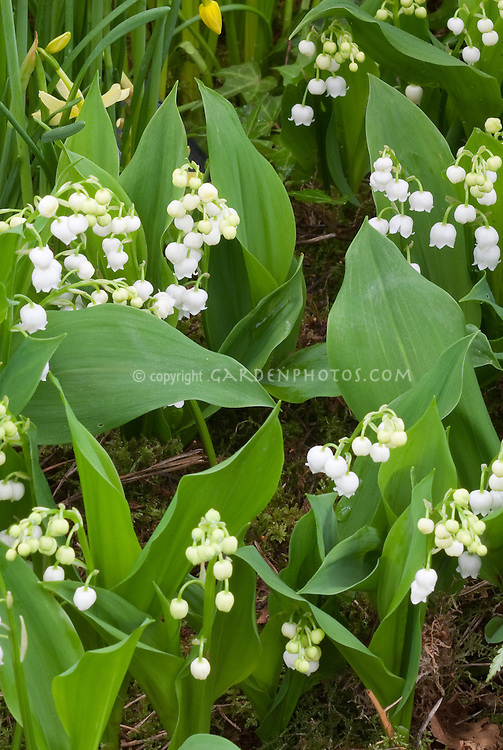 Convallaria majalis Fortin's Giant (Lily of the Valley) with large white flowers, fragrant shade plant that blooms in spring with bell like little flowers