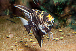 Gold marbled veil tail angelfish swimming right