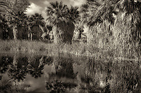 Pond reflecton and palm trees. Coachella Valley Preserve, Simone Pond, MacCallum Grove, California