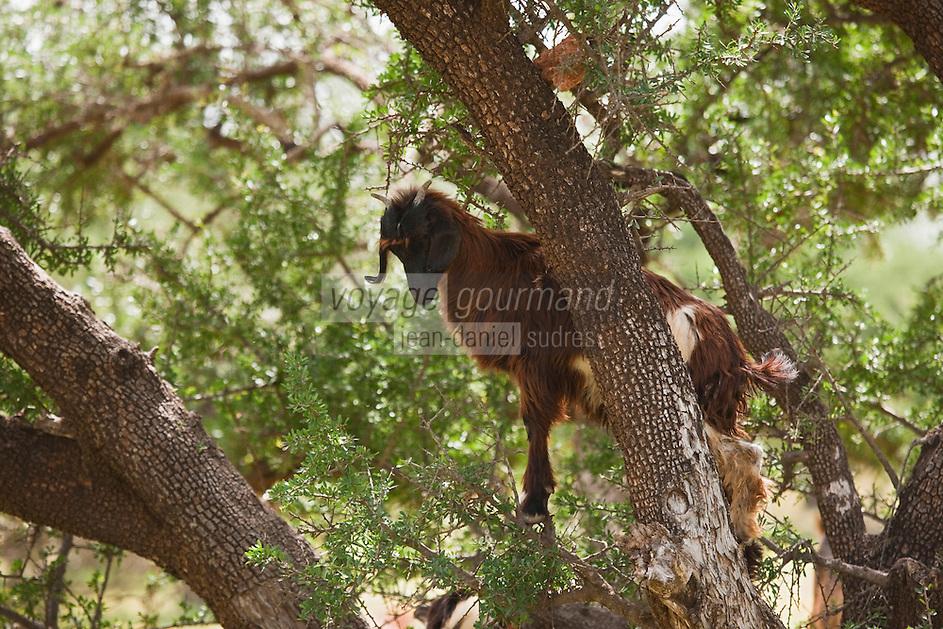 Afrique/Afrique du Nord/Maroc/Env d'Essaouira/Id Choukaïh: Chèvre dans un arganiers