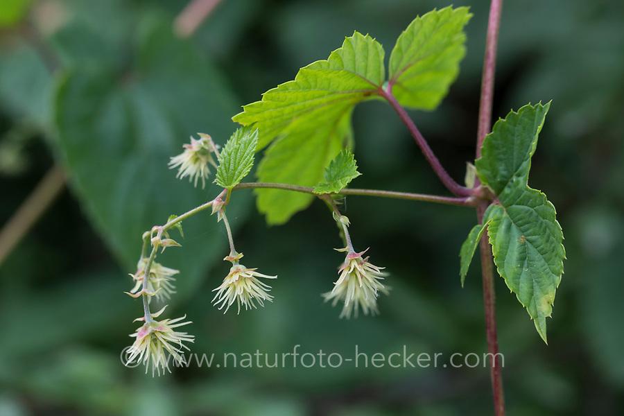Hopfen, weibliche Blüten, weibliche Pflanze, Weibchen, Gewöhnlicher Hopfen, Echter Hopfen, Humulus lupulus, Common Hop, Hop, hops, Le Houblon, Le houblon grimpant