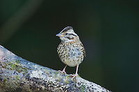 Rufous-collared Sparrow, Zonotrichia capensis, immature perched, Bosque de Paz, Central Valley, Costa Rica, Central America, December 2006