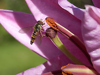 Female Episyrphus balteatus, sometimes called the marmalade hoverfly, Whitewell, Lancashire.