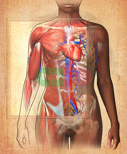 This medical illustration features an editorial image of the anatomy of the female thorax, right shoulder and pelvis musculoskeletal structures,  and the cardiovascular system on a parchment textured background.