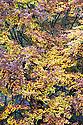 Autumn foliage of Common beech (Fagus sylvatica), early November.